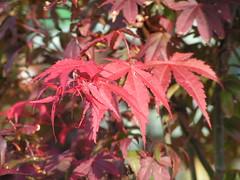 Acer palmatum Atropurpureum (angelaslater01) Tags: red tree leaves japanese maple acer