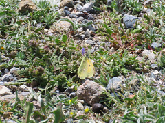 Clouded Yellow (Colias crocea) (Brian Carruthers-Dublin-Eire) Tags: yellow butterfly clouded colias pieridae cloudedyellow coliadinae crocea coliascrocea