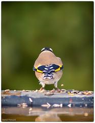 comme la pie (Paloudan) Tags: birds animaux oiseau chardonneret passereau