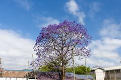 jacaranda (sixthofdecember) Tags: travel trees sky plant tree tanzania outside outdoors nikon purple jacaranda tamron plantlife jacarandatree tamron18270 nikond5100