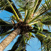Coconut Tree (Cocos nucifera)