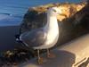 Praia da rocha (Portimao): Goeland argenté (daniel EGV) Tags: ocean sea mer beach portugal water seaside sable cliffs atlantic algarve plage sans falaises praiadarocha portimao altantique