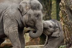 Nhi-Linh & Sunay (K.Verhulst) Tags: elephant rotterdam blijdorp elephants nl blijdorpzoo olifanten diergaardeblijdorp sunay aziatischeolifant asiaticelephants nhilinh