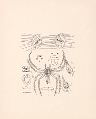 n407_w1150 (BioDivLibrary) Tags: malaysia pictorialworks spiders nationallibraryboardsingapore bhl:page=47295927 dc:identifier=httpbiodiversitylibraryorgpage47295927 spider arachnid colorourcollections singapore arachnology taxonomy:binomial=polyboeavulpina artist:name=tordtamerlanteodorthorell artist:viaf=49619331 taxonomy:common=browngrassspider spiderwebs arthropoda bhlarthropod pagefrights halloween