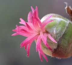 Hazelnut Flower (corey.raimond) Tags: plant flower washington pinkflower shrub kirkland wildflower hazelnut corylus betulaceae femaleflower