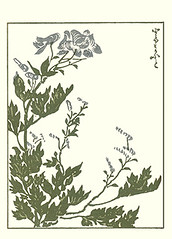 Monkshood (Japanese Flower and Bird Art) Tags: flower art japan japanese book picture ranunculaceae nagasaki woodblock monkshood aconitum chinense masayoshi kitao readercollection