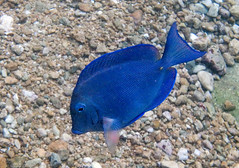 Blue Tang (Chalto!) Tags: sea fish bay underwater snorkeling snorkelling caribbean reef tobago tang westindies surgeonfish bluetang