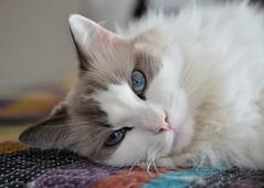 Snow (Rafael Schaidhauer) Tags: blue cats snow gatos ragdoll animaldeestimação greatphotographers nikonflickraward