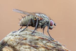 A Hunter fly