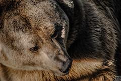 Ours Brun - Zoo de Fort-Mardyck
