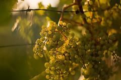 Uvas al atardecer (matihagene) Tags: sunset sun sol atardecer grapes campo uvas