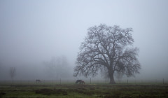 Misty Morn (glo photography) Tags: ranch morning trees winter horse mist northerncalifornia misty fog rural landscape haze oak cattle outdoor country foggy pony pasture steer livestock oaktree lakecounty lakecountyca gloriasalvanteglophotography