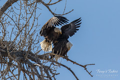 Bald Eagles copulating sequence - 3 of 28