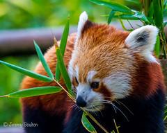 Panda Bamboo (JKmedia) Tags: animal zoo tail bamboo redpanda climber captivity stripy 2015 blackpoolzoo ailurusfulgensfulgens boultonphotography