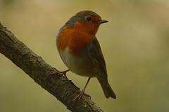 Robin (john a gormally) Tags: robin cumbria leightonmoss wildbird sigma150500lens nikond7100