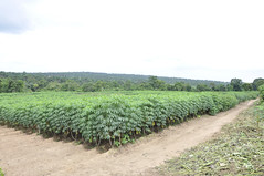 IITA cassava demonstration field (IITA Image Library) Tags: cassava manihotesculenta weedscienceproject
