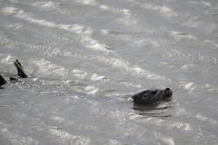 Phoque sauvage / Wild seal