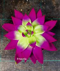 Un cactus fucsia (akel_lke ) Tags: cactus flower fleur blumen murcia plus blomma bunga fiore fucsia elke virg hoa lore rakel bloem iphone lill  blm iek floro kwiat blodau espinardo paj  kukka    cvjetni zieds  kvtina kvetina floare iedas   regindemurcia rakelelke iphone6s rakelmurcia iphone6splus