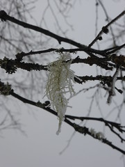 Usnea wrapped in glazed frost (Alta alatis patent) Tags: mist frost lesgets usnea