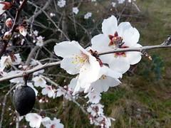Amandier blanc (brigeham34) Tags: france hiver eu arbres campagne fvrier languedocroussillon hrault pouzolles amandiersenfleurs marchedujeudi fz45 cantomerlepouzolles