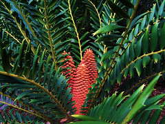 Jungle Fern (J Swanstrom (Check out my albums)) Tags: red fern green zoo bush sandiego kodak cone palm jungle shrub dx7590 jswanstromphotography