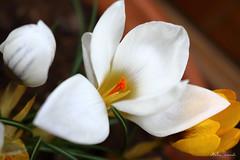 White crocus (ambrasimonetti) Tags: white primavera spring crocus 2016 zafferano