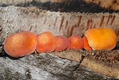 Early stage of Rusty gill mushroom Gymnopilus species Airlie Beach P1330279 (Steve & Alison1) Tags: beach mushroom rusty species gill airlie gymnopilus strophariaceae arfp arffungi qrfp orangearffungi tropicalarf gymnopilussp arfslimemould