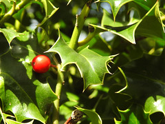 Nature (uk_dreamer) Tags: flowers flower tree green nature berry bokeh holly