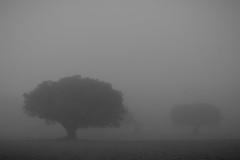 Aejas encinas (pepsamu) Tags: naturaleza mountain tree nature fog canon landscape view hill meadow el pasture rbol campo prado monte montaa niebla castilla dehesa vila parral holmoak encina castillaylen elparral 1100d