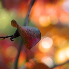 kaki leaves #2 (SS) Tags: autumn light red italy orange plant tree colors yellow garden leaf pentax bokeh squareformat lazio k5 2015 diospyroskaki smcpentaxm50mmf17 ss