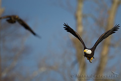 _MG_5110web (Marra_Photography) Tags: usa bird birds america virginia eagle united bald raptor states northern eagles