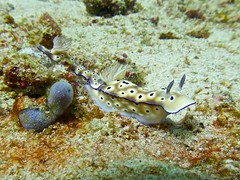 Nudibranch 1 (someofmypics) Tags: vacation philippines bikini manila scubadiving wickedweasel ikelite panasonictz60