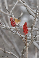 American Robin on Sumac. (Gillian Floyd Photography) Tags: bird robin sumac american songbird conservancy riverwood
