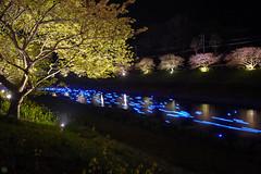 20160305-DSC_2208.jpg (d3_plus) Tags: street sea sky plant flower nature japan spring nikon scenery nightshot cloudy bloom  cherryblossom  sakura lightup nightview 28105mmf3545d nikkor    shizuoka    izu   28105   rapeblossom    28105mm  zoomlense  minamiizu    kawazuzakura    28105mmf3545 d700 281053545  nikond700 shimokamo aiafzoomnikkor28105mmf3545d nightcherryblossom 28105mmf3545af    southcherryblossomandrapeblossomfestival aiafnikkor28105mmf3545d shootingstarsandsakurainnight sakurainnight