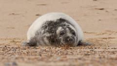 Grey Seal Pup - Black and white fur - Winterton beach (Clive_Bushnell) Tags: uk winter sea slr beach nature digital canon eos grey coast seaside wildlife north norfolk gray atlantic telephoto seal seals british clive winterton bushnell greyseal wintertononsea mamals halichoerus grypus clivebushnell