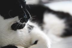 Quiet Afternoon (Elisabeth Rose Astwood) Tags: blackandwhite pet animal cat spring whiskers prim allergies primrose