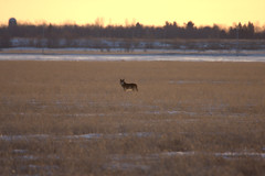 Coyote searching for voles_8498 (CdnAvSpotter) Tags: coyote field sunrise hunting grassy coyotes coywolf
