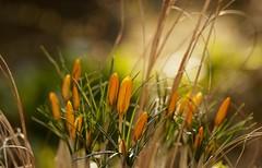 yellow crocus (Bakelaar en Waardenburg) Tags: flowers flower floral garden fotografie crocus tuin garten bloemen tuinen flowerphotography bakelaarenwaardenburg bloemenfotografie mariannebakelaar tuinfotografie