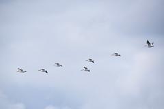 American White Pelicans in flying formation (wplynn) Tags: white bird birds wildlife indiana pelican american area linton goosepond pelecanus fishandwildlife erythrorhynchos