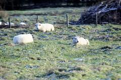 Schapen in bevroren gras (Omroep Zeeland) Tags: bevroren gras schapen colijnsplaat