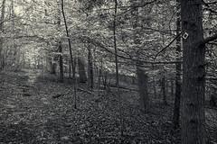 Snow on the Hemlocks, 2016.04.09 (Aaron Glenn Campbell) Tags: blackandwhite bw rural hiking pennsylvania sony country sigma tint lehman nepa wooded toning naturetrails bmr luzernecounty backmountain mirrorless a6000 emount 19mmf28exdn sonyalpha6000 ilce6000 backmountainregionalrecreationalcomplex
