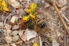 Honeybee (Joshua Tree National Park) Tags: flower nature insect nationalpark spring joshuatree bee wildflower honeybee joshuatreenationalpark pollinator
