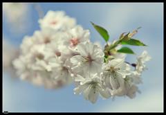 Sakura (6) (***RM***) Tags: flower tree nature beautiful beauty japan garden outside spring nikon dof cherryblossom sakura nikkor fragile d600 2470