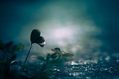 Un cuoricino (mariateresa toledo) Tags: macro primavera heart cuore cuoricino sonynex7 mariateresatoledo dsc03415modifica2 piantinaselvatica