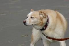 All Photos-9276 (jlh_lunasea) Tags: dog beach romeo manzanita huskador