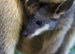 A Mother's Son (Bruuceey) Tags: baby cute closeup canon zoo furry joey australian mother adorable australia son kangaroo tiny wallaby newborn nsw hop aussie centralcoast browneyes portmacquarie f40 24105 koalapark llens 24105mml 73mm canon24105 canon7d