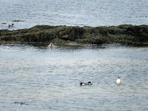 Four pochard on Mar Wick -- photo 2