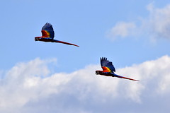 Scarlet macaws (Annie Louise 12) Tags: show blue red sky cloud colour bird nature birds animal animals yellow scarlet flying wings nikon bright zoom outdoor vibrant wildlife pair tail flight beak parrot exotic tropical colourful macaw tropics avian macaws macao scarletmacaw nikond3300