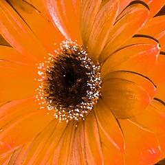 Carmine (adrea_rusnak) Tags: nature flowermetallic orangecolor chromed