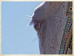 Happy Anisa (gill4kleuren - 12 ml views) Tags: horse white me fun outside happy gill anisa paard pret arabier